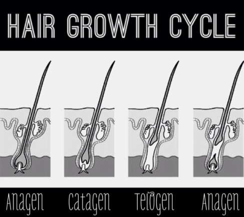 hair_growth_cycle